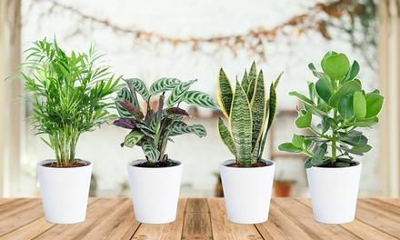 Set di 4 piante da interno robuste e facili da curare in 4 tipologie