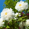 Flowering White Peony Tree