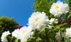 Flowering White Peony Tree: Flowering White Peony Tree