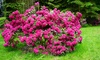 1x oder 2x XL Rhododendron Bollywood