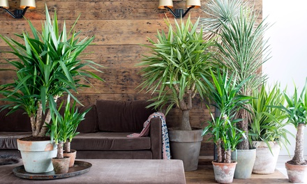 yucca palmen 80 cm groupon goods. Black Bedroom Furniture Sets. Home Design Ideas