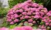 "Hortensia hydrangea ""Ruby Annabelle"""