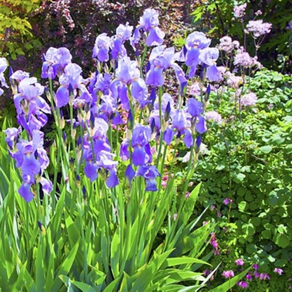 4d27478c7abc14 Mixed Dutch Iris Flower Bulbs (45-, 90-, or 180-Pack w/ Bulb Planter) |  Groupon