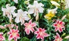 Fragrant Lily Bulbs (6-Pack): Fragrant Lily Bulbs (6-Pack)