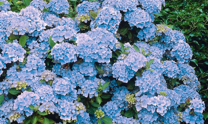 Up To 20 Off On Hydrangea Shrub Roots Groupon Goods