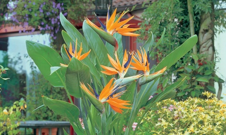 Strelitzia Bird of Paradise Plant