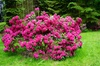 Rhododendron 'Bollywood'