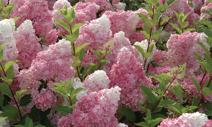 Hydrangea Vanilla Fraise – One, Two or Three Plants with Optional Patio Planters (£5.99)