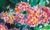 """Pre-Order: Rainbow Butterfly Bush 3"""" Potted Plant"""