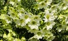 Clematis Early Sensation 9cm - 1, 2 or 3 Plants