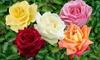Five Hybrid Tea Rose Bushes