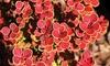 Berberis 'Orange Sunrise' Plant