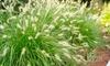 1 o 2 plantas pennisetum hameln