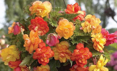 Begonia Hanging-Basket Mix (5 Bulbs)