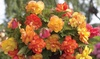 Begonia Bulb Mix for Hanging Basket (Multiple Varieties) (5 Bulbs): Begonia Bulb Mix for Hanging Basket (Multiple Varieties) (5 Bulbs)