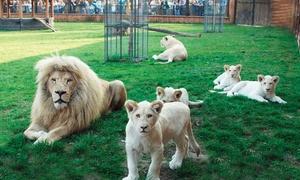 Zoo Safari Borysew: Zoo Safari Borysew: 1 bilet od 18,99 zł – okazja do zobaczenia 4 nowo narodzonych białych lwów