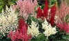 Astilbe Hybridizers' Choice Bare-Root Plants (5-Pack): Astilbe Hybridizers' Choice Bare-Root Plants (5-Pack)