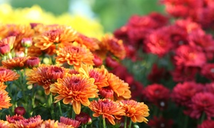 Orange Garden Center: $10 for $30 Worth of Mums, Pumpkins, Hay Bales, Bulbs, Grass Seed and Fall Shrubs at Orange Garden Center