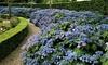 Plantes Hydrangea serrata 'Summer Glow'