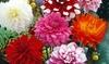 Dahlia Decorative Mix Bulbs (7-Pack): Dahlia Decorative Mix Bulbs (7-Pack)