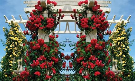 60cm Pair Scented Climbing Roses