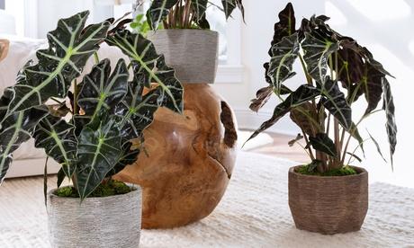 2 o 4 plantas Alocasia Polly