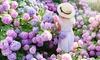 "1 ou 3 hortensias ""Hydrangea macrophylla"""
