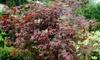 Acer Palmatum Collection