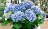 1 of 2 sets van 3 tweekleurige 'Bavaria' hortensia planten