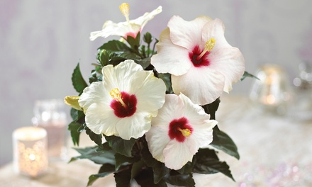 Hibiscus Pearl Potted Plant with Festive Pot Cover from £10.99 With Free Delivery