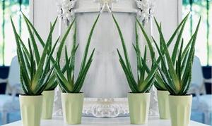 Pack 2 Plantes Aloe Vera 30-40 cm