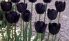 Assorted Tulip Flower Bulbs (12-Pack)
