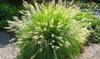 1 o 2 piante di Penniseto allungato