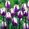 Blueberry Swirl Tulip Bulbs (10-, 15-, or 25-Pack)