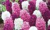 Fragrant Hyacinth Bulbs (10-, or 40-Pack): Fragrant Hyacinth Bulbs (10-, or 40-Pack)