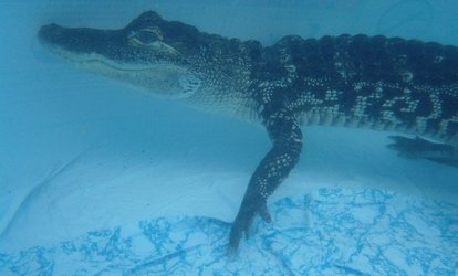 image for Swimming with Croc Plus Crocodile and Venomous Snake Tour with Photo for One or Two at Crocs R Us (Up to 65% Off)