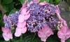 Hydrangea Endless Summer Twist'n'Shout Plant 3L