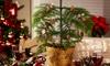 Sapin de Noël de l'île de Norfolk