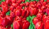 Red Tulip or Darwin Hybrid Mix Tulip Bulbs (Ships as 50 Bulbs)