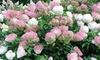 2 et 3 Hortensia Vanille fraise