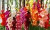 Gladiolus Tall or Dwarf Bulb Mixture (30 Bulbs): Gladiolus Tall or Dwarf Bulb Mixture (30 Bulbs)