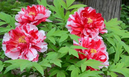 One or Two Sets of Peony Plants