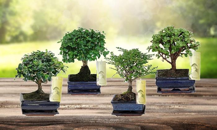 Set di 2 bonsai cinesi | Groupon Goods