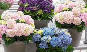Lot de 3 hortensias 20-35 cm pot inclus