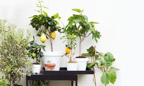 Set de 4 o 8 árboles frutales: limonero, naranjo, higuera y olivo