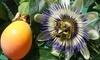 Plantes à fruits de la passion