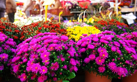 $20 for $40 Worth of Mums, Pumpkins, Hay Bales, Bulbs, Grass Seed and Fall Shrubs at Orange Garden Center
