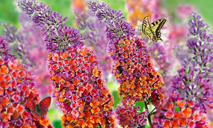 2x Buddleia Flower Power® | Groupon