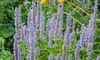 """Blue Fortune Hummingbird Mint 3"""" Potted Plant (2-Pack): Blue Fortune Hummingbird Mint 3"""" Potted Plant (2-Pack)"""