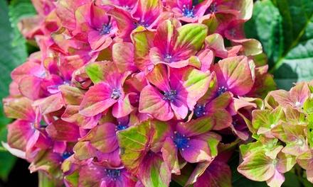 Hydrangea Glam Rock Plant